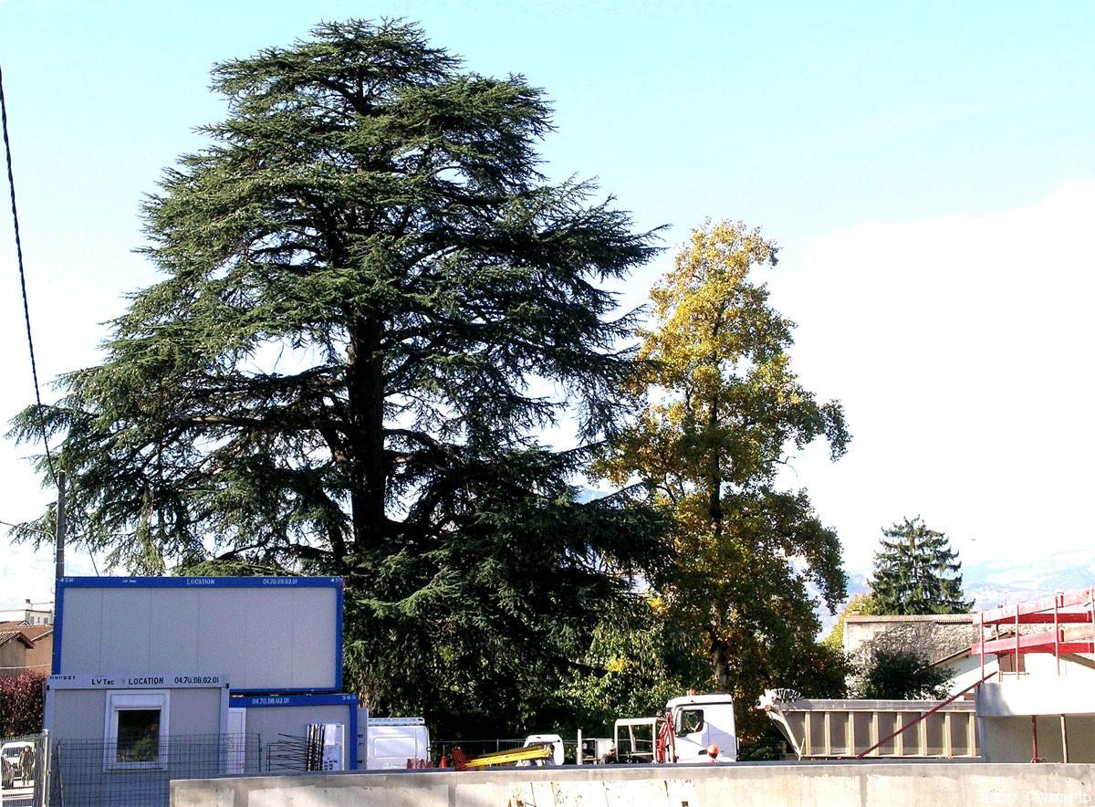 Le cèdre de Gières Isère, Rémy Canavésio (1)