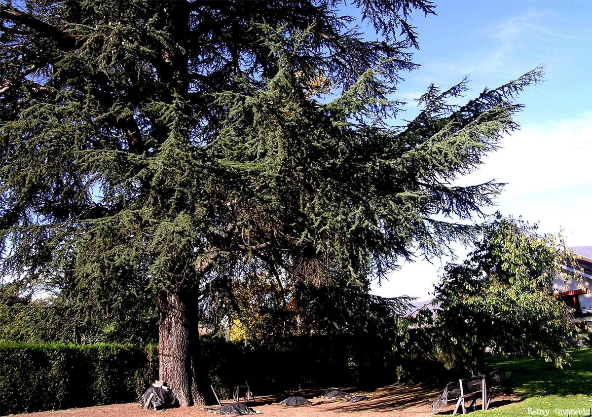 Le cèdre de Gières Isère, Rémy Canavésio (3)