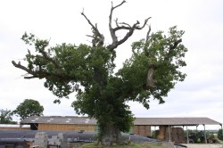 Le chêne dé en 2007, Sévignac, Côtes d'Armor Yannick Morhan (1)