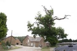 Le chêne dé en 2007, Sévignac, Côtes d'Armor Yannick Morhan (2)