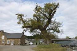 Le chêne dé en 2014, Sévignac, Côtes d'Armor Yannick Morhan (1)