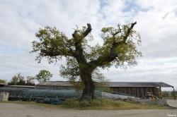 Le chêne dé en 2014, Sévignac, Côtes d'Armor Yannick Morhan (2)