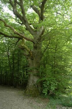 Le chêne de Jaulgonne, Aisne, Michel Collin (1)