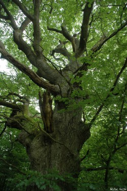 Le chêne de Jaulgonne, Aisne, Michel Collin (3)
