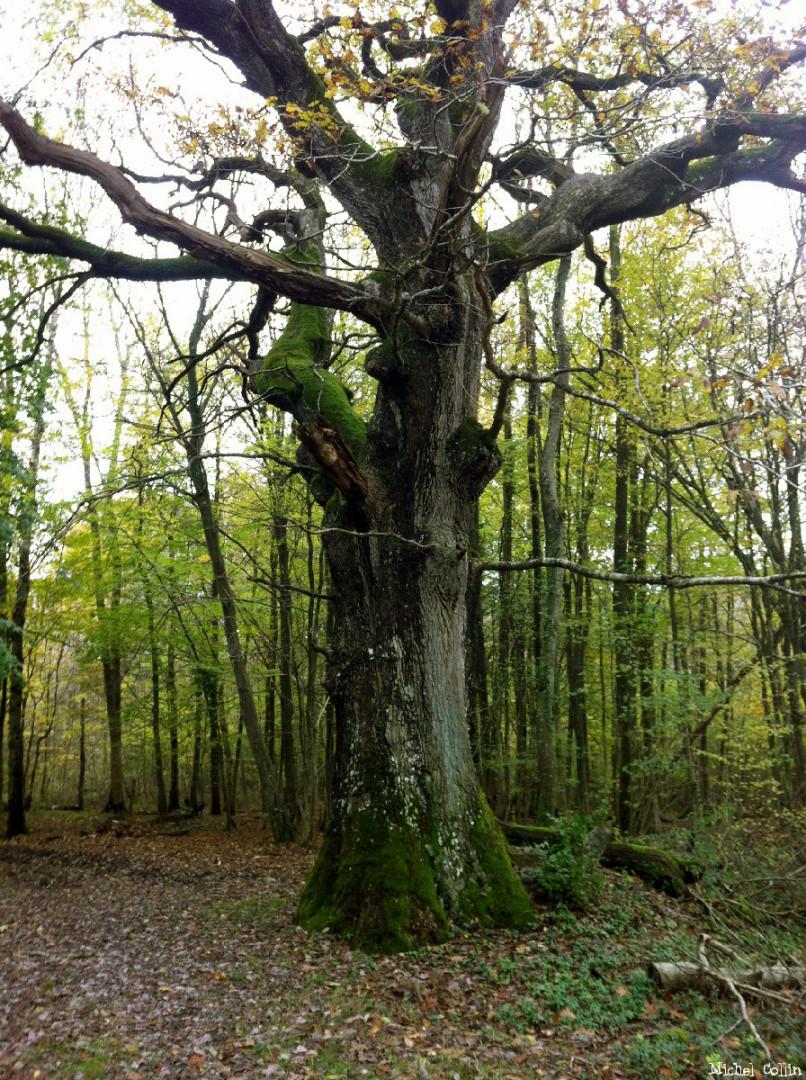 Le chêne de Jaulgonne, Aisne, Michel Collin (5b)