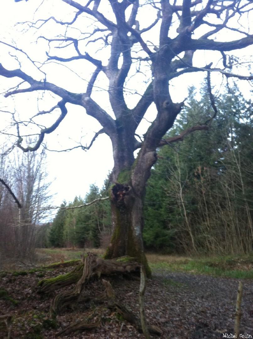 Le chêne de Jaulgonne, Aisne, Michel Collin (6)