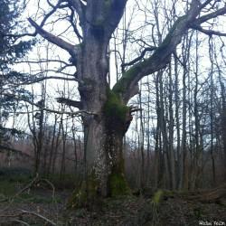 Le chêne de Jaulgonne, Aisne, Michel Collin (7)
