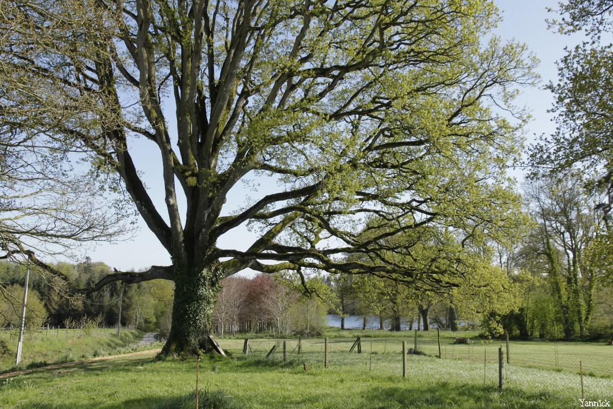 Le chêne de la Hardouinais Saint Launeuc Yannick Morhan (12)