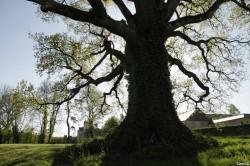Le chêne de la Hardouinais Saint Launeuc Yannick Morhan (8)