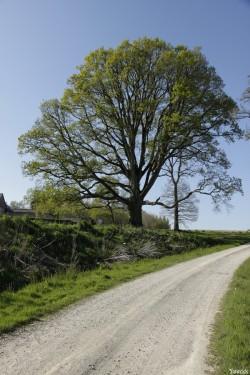 Le chêne de la Hardouinais Saint Launeuc Yannick Morhan (9)