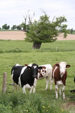 Le chêne de l'an mille, Limoelan en 2007, Sévignac, Côtes d'Armor Yannick Morhan (1)