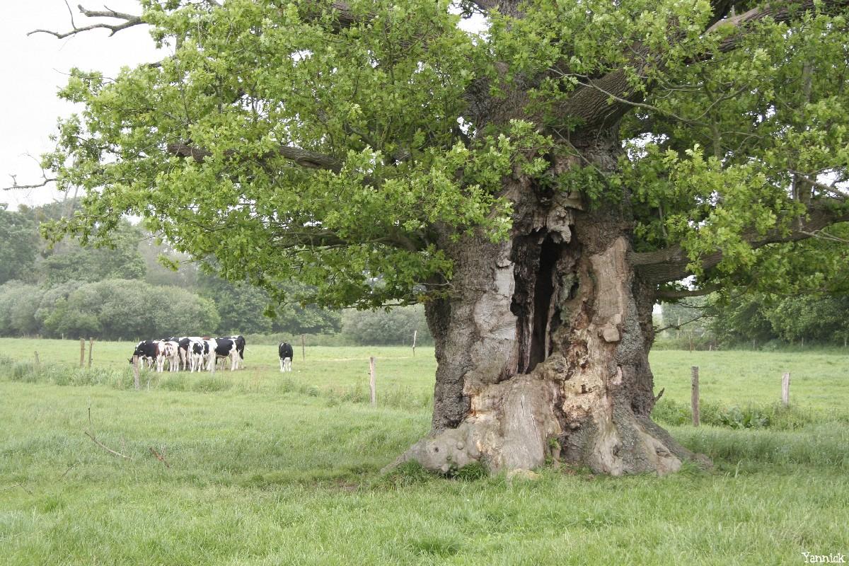 Le chêne de l'an mille, Limoelan en 2007, Sévignac, Côtes d'Armor Yannick Morhan (3)