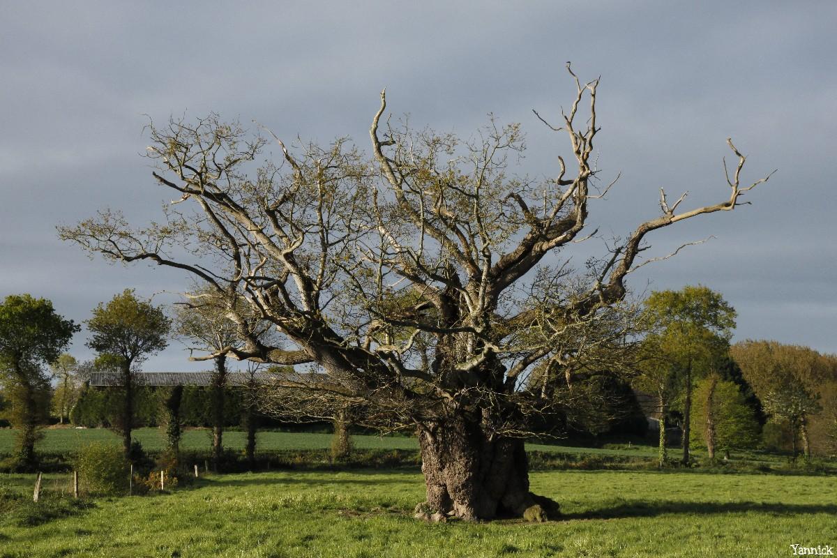 Le chêne de l'an mille, Limoelan en 2014, Sévignac, Côtes d'Armor Yannick Morhan (10)