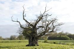 Le chêne de l'an mille, Limoelan en 2014, Sévignac, Côtes d'Armor Yannick Morhan (12)