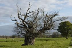 Le chêne de l'an mille, Limoelan en 2014, Sévignac, Côtes d'Armor Yannick Morhan (13)