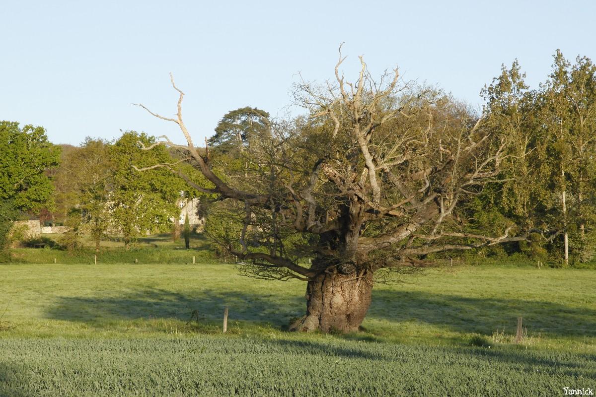 Le chêne de l'an mille, Limoelan en 2014, Sévignac, Côtes d'Armor Yannick Morhan (5)