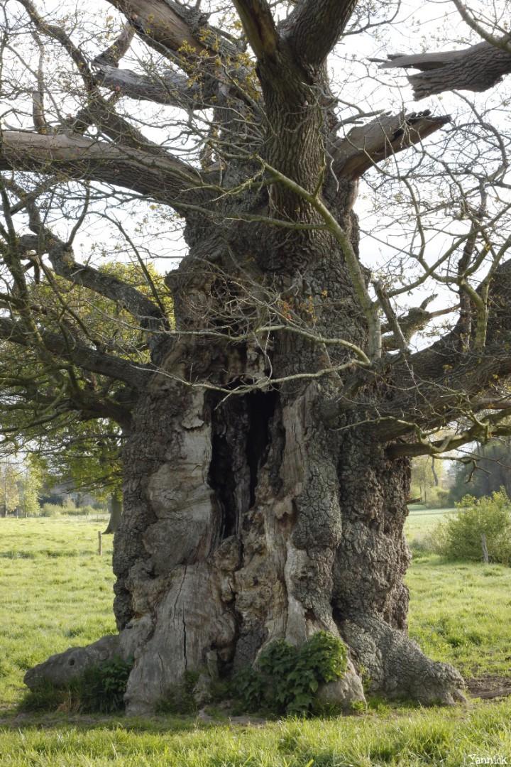 Le chêne de l'an mille, Limoelan en 2014, Sévignac, Côtes d'Armor Yannick Morhan (6)