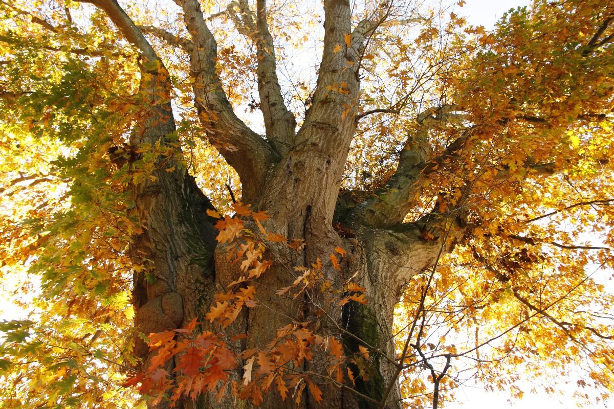 Le chêne rouge de  la Mennaie, Ploërmel Morbihan, Yannick Morhan (2)