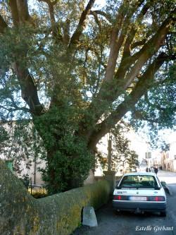 Le chêne vert de Mirepoix 03 © Estelle Grébant