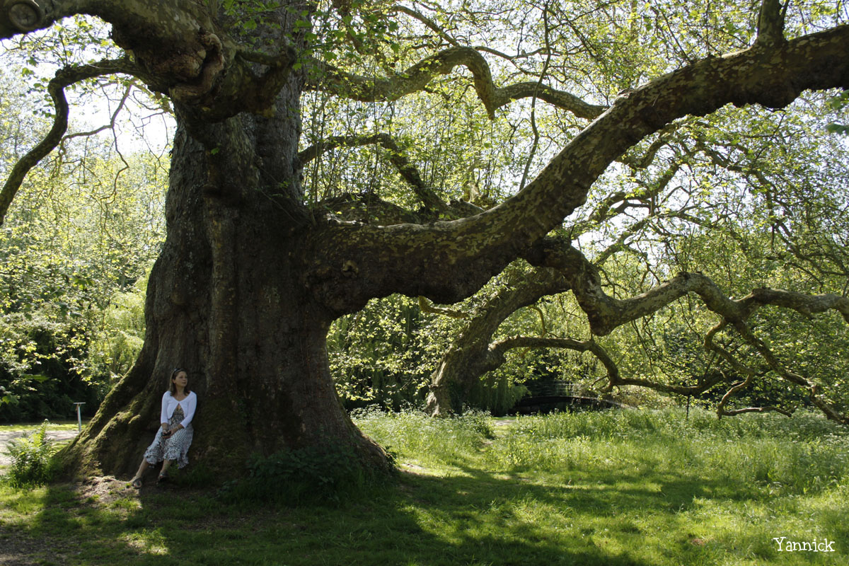 Le gros platane de Mottisfont Abbaye, Angleterre Yannick Morhan (1)