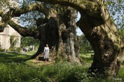Le gros platane de Mottisfont Abbaye, Angleterre Yannick Morhan