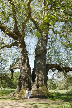 Le gros platane de Mottisfont Abbaye, Angleterre Yannick Morhan (4)