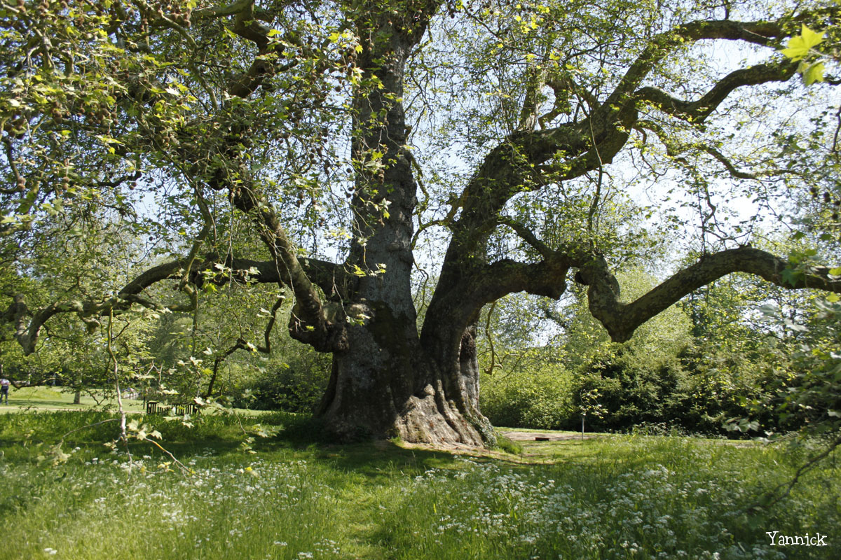 Le gros platane de Mottisfont Abbaye, Angleterre Yannick Morhan (5)