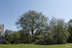 Le gros platane de Mottisfont Abbaye, Angleterre Yannick Morhan (6)