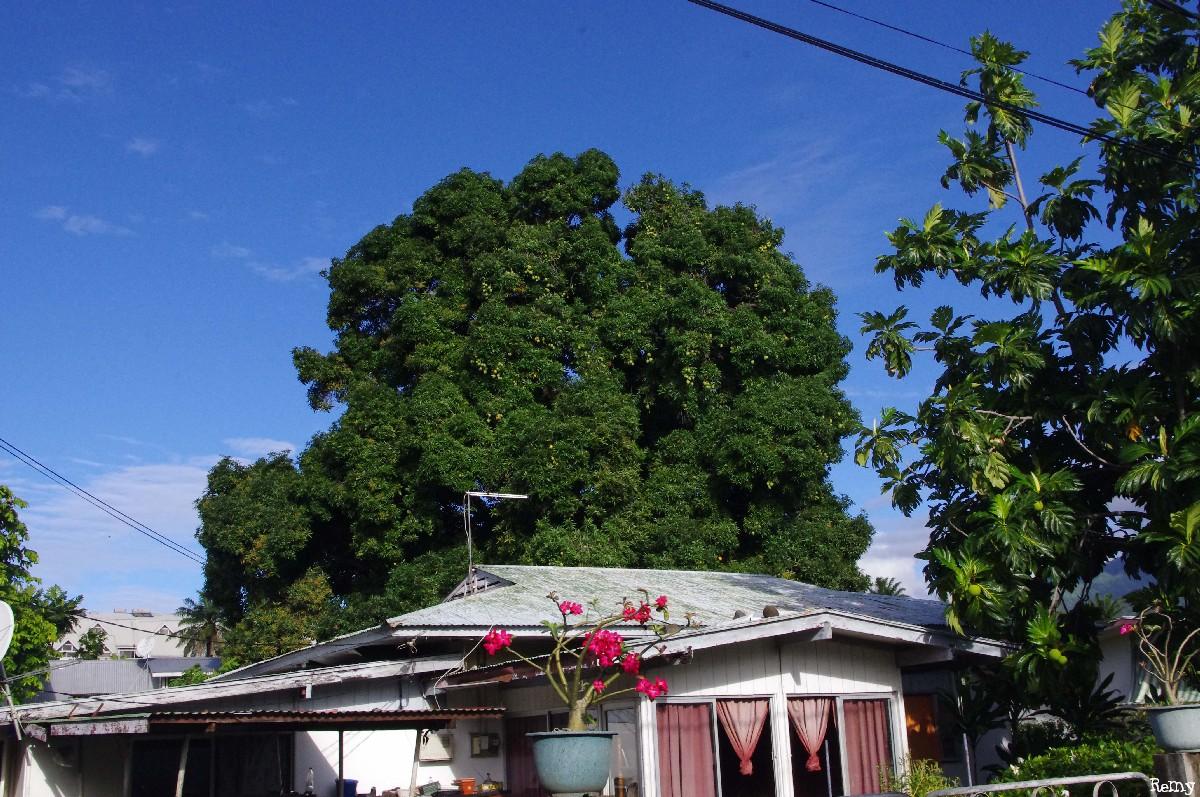 Le manguier Tutehau du quartier Farepiti, Papeete, Tahiti Rémy Canavesio(2)