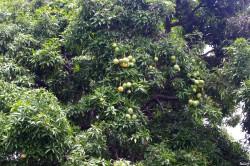 Le manguier Tutehau du quartier Farepiti, Papeete, Tahiti Rémy Canavesio(6)