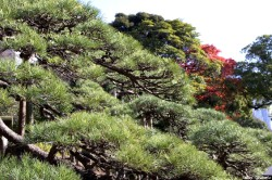 Le pin noir du jardin Hamarikyu Tokyo, Japon Remy Cavanesio (1)