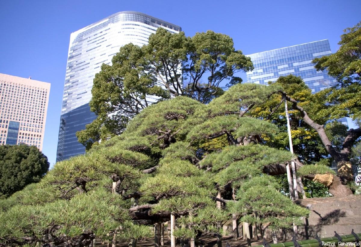 Le pin noir du jardin Hamarikyu Tokyo, Japon Remy Cavanesio (2)