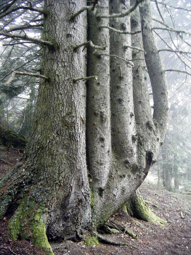 Le sapin du Rioumajou, Hautes Pyrénées Anais (1)