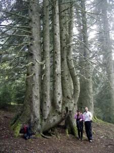 Le sapin du Rioumajou, Hautes Pyrénées Anais