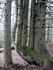 Le sapin du Rioumajou, Hautes Pyrénées  Anais(2)
