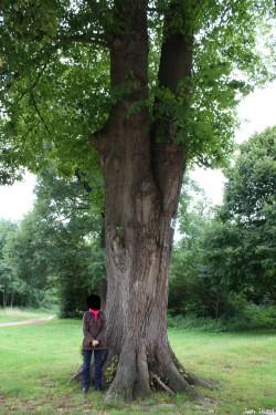 Le tilleul du domaine royal de Saint-Germain en Laye, Yvelines Jean Luard (2)