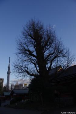 Les 2 gingkos du temple Sensö-Ji, Tokyo, Japon, Rémy Canavesio (2)
