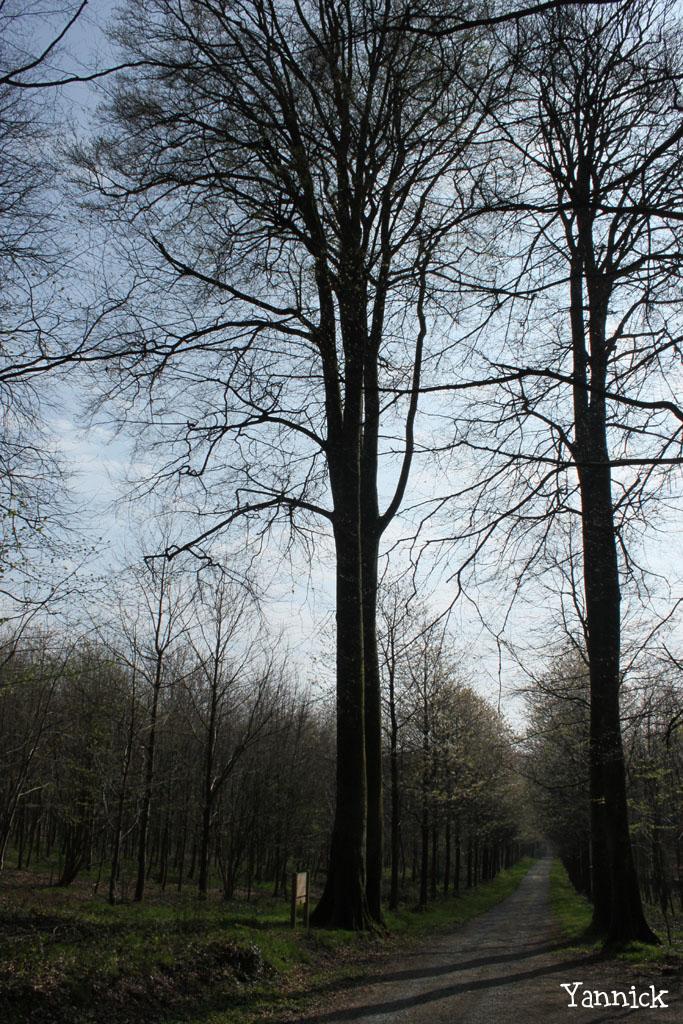 Les hêtres jumeaux de Laignelet (8)