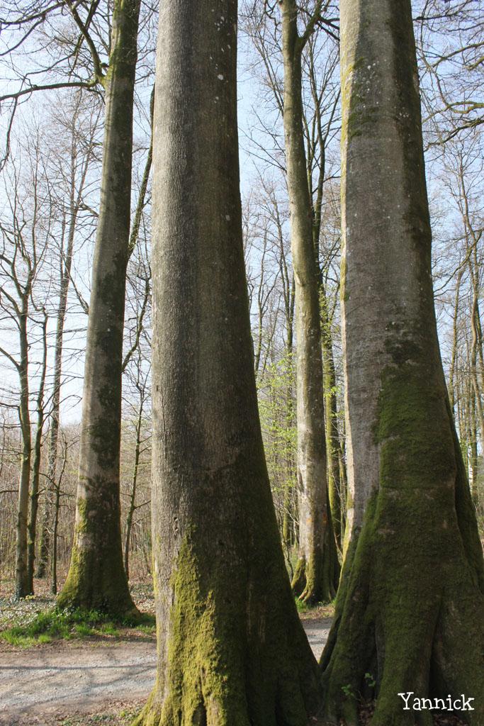 Les hêtres jumeaux de Laignelet Yannick (1)