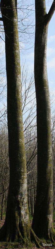 Les hêtres jumeaux de Laignelet Yannick (7)