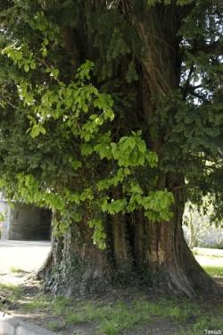 L'if merisier de Saint Launeuc Côtes d'Armor Yannick Morhan (6)