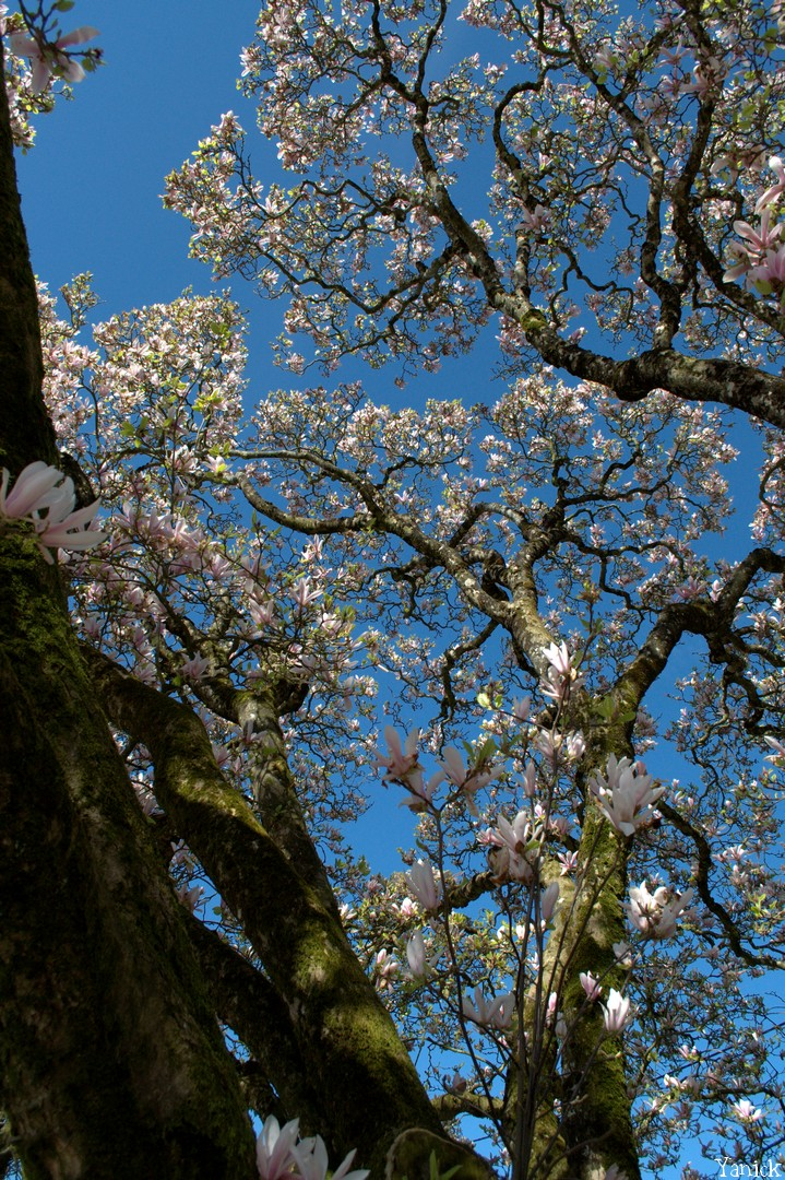 Magnolia - La Chapelle Thireul 01 © Yanick