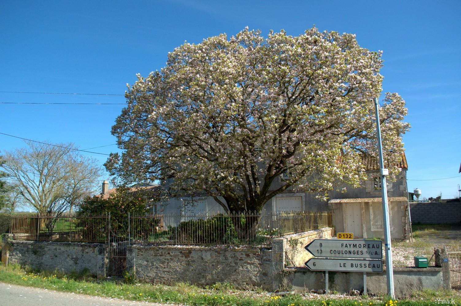 Magnolia - La Chapelle Thireul 02 © Yanick