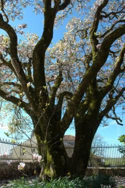 Magnolia - La Chapelle Thireul 03 © Yanick