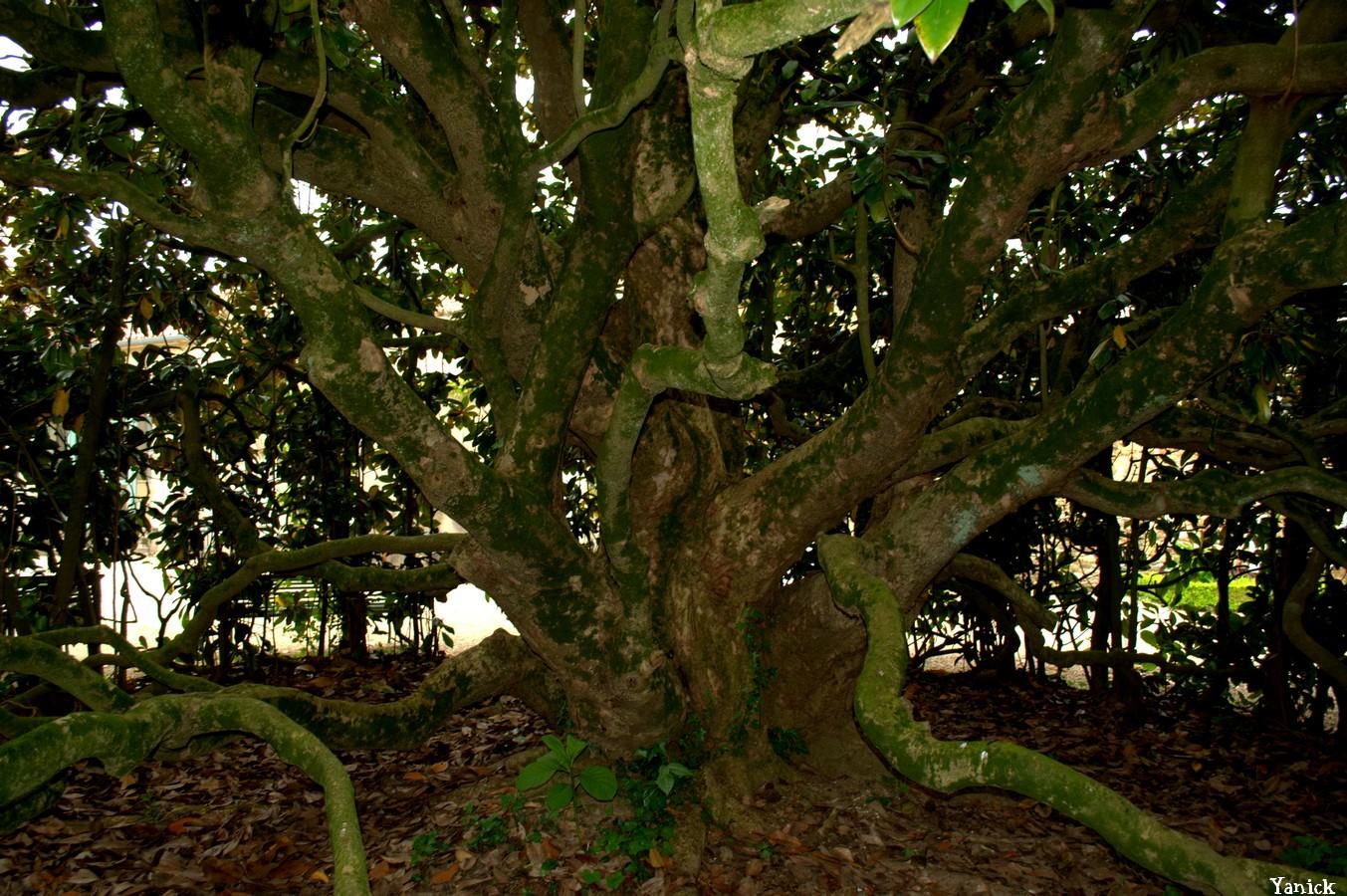 Magnolia Mouilleron  01 © Yanick