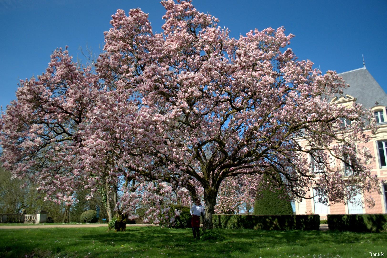 Magnolia - Petit chêne 01 ©Yanick