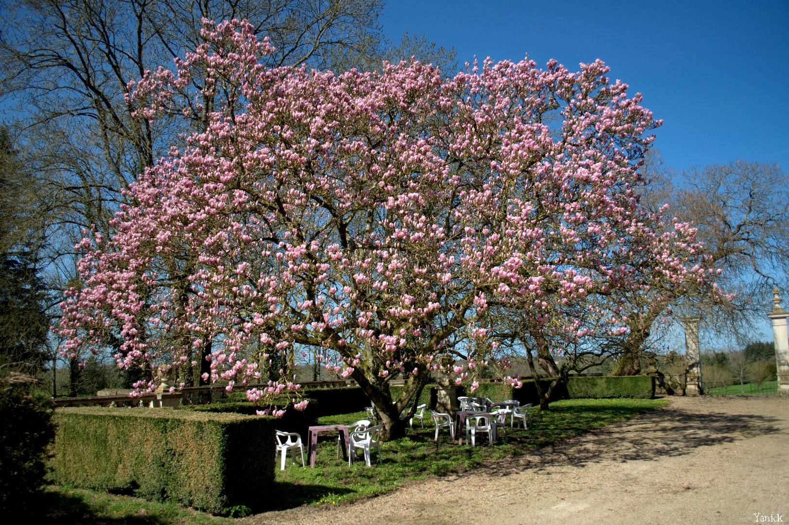 Magnolia - Petit chêne 03 ©Yanick