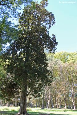 Magnolia-grandes-fleurs-laverune1