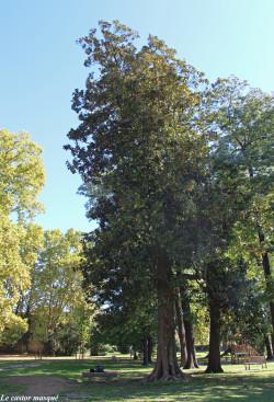 Magnolia-grandes-fleurs-laverune2