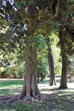Magnolia-grandes-fleurs-laverune4